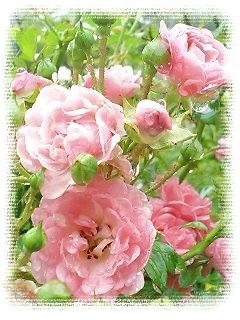 ミニ薔薇ピンク