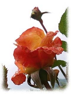雨空と薔薇